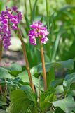 Bergenia cordifolia pink flowers, blooming. Stock Photo
