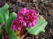 Bergenia cordifolia pink flowers, blooming. Stock Photos