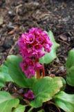 Bergenia cordifolia pink flowers, blooming. Royalty Free Stock Photos
