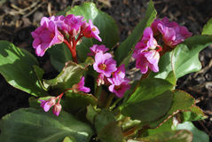 Bergenia cordifolia pink flowers, blooming. stock image