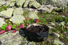 Bergenia cordifolia plant. Camping herbs tea in a pot stock photos