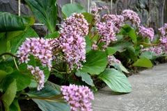 Bergenia. Cordifolia plants in the garden Stock Photo