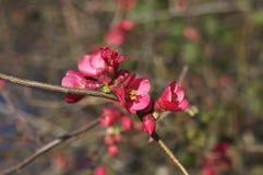 Bergenia Cordifolia Rotblum Fotografering för Bildbyråer
