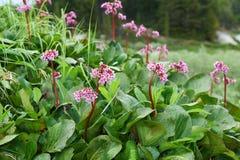 Bergenia cordifolia & x28;Bergenia crassifolia, the badan, Siberian t Royalty Free Stock Photography