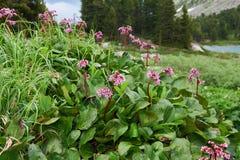 Bergenia cordifolia & x28;Bergenia crassifolia, the badan, Siberian t Royalty Free Stock Images