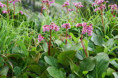 Bergenia cordifolia & x28;Bergenia crassifolia, the badan, Siberian t Stock Images