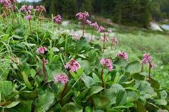 Bergenia cordifolia & x28;Bergenia crassifolia, the badan, Siberian t Stock Photos