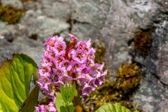 Bergenia crassifolia Royalty Free Stock Image