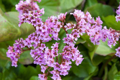Bergenia crassifolia in the garden Royalty Free Stock Images