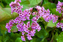 Bergenia crassifolia in the garden Royalty Free Stock Photography