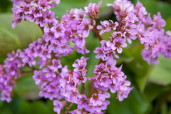 Bergenia crassifolia in the garden Stock Images