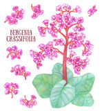 Bergenia crassifolia mongolian tea elephant-ears herb aquarelle illustration Stock Image