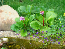 Bergenia crassifolia, saxifrage or Mongolian tea. At water Royalty Free Stock Photo