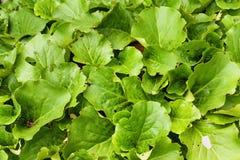 Bergenia crassifolia, Siberian badan & Saxifraga crassifolia Royalty Free Stock Photos
