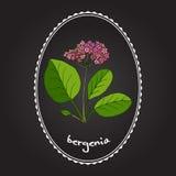 Bergenia för medicinsk och trädgårds- växt Royaltyfri Illustrationer