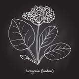 Bergenia för medicinsk och trädgårds- växt Stock Illustrationer