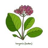 Bergenia för medicinsk och trädgårds- växt Royaltyfri Foto