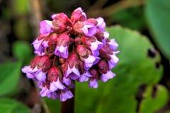 Bergenia Fiore della sorgente fotografia stock