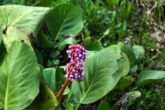 Bergenia Fleur de source photographie stock libre de droits