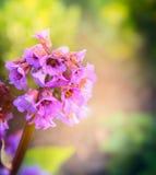 Bergenia flower on blurred garden background, outdoor Stock Photos