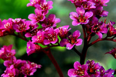 Bergenia Flowers. Close up of magenta Bergenia cordifolia flowers. The leaves are heart shaped and remain green throughout the year Royalty Free Stock Photo