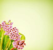 Bergenia flowers against green gradient background Royalty Free Stock Images