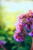 Bergenia flowers on brurred sunny nature background Royalty Free Stock Photo