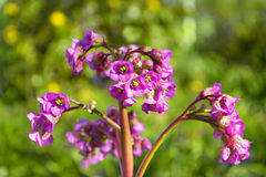 Bergenia flowers on natural background Stock Photo