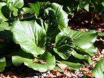 Bergenia in the garden Stock Images