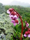 Bergenia Grande-con hojas de la flor Fotografía de archivo libre de regalías