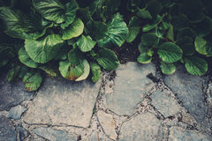 Bergenia Leaves Background Stock Images