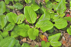 Bergenia medicinal de la hierba (pacifica) del Bergenia 10 imagen de archivo