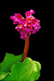 Bergenia Red Star. Stock Photos