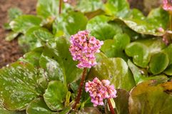 Bergenia Royalty Free Stock Photo