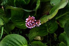 Bergenia. Spring flower. Royalty Free Stock Images
