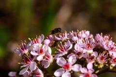 Bergenia. Spring flower. Stock Images