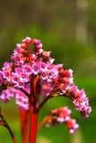 Bergenia. Spring flower. Stock Photos