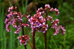 Bergenia. Spring flower. Royalty Free Stock Image