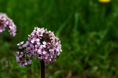 Bergenia. Spring flower. Royalty Free Stock Photography