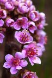 Bergenia. Spring flower. Stock Photo