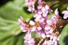 Bergenia stracheyi flower Royalty Free Stock Images