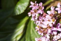 Bergenia stracheyi flowers Stock Photography