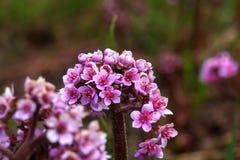 Bergenia white för blommaskogfjäder Royaltyfria Foton