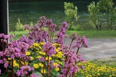 Bergenias and daisies scenic royalty free stock photo