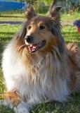 Berger écossais Collie se trouvant sur l'herbe dans le jardin image stock