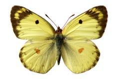 berger η πεταλούδα κάλυψε το &alp στοκ φωτογραφία με δικαίωμα ελεύθερης χρήσης