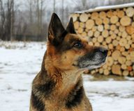Berger allemand à l'arrière-plan de la neige dans le village Photo stock