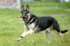 Berger allemand photo stock