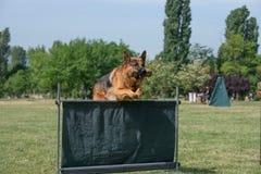 Berger allemand adulte Running Through l'herbe photographie stock libre de droits