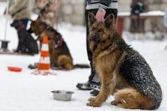 Berger allemand attendant l'équipe pendant l'hiver image stock